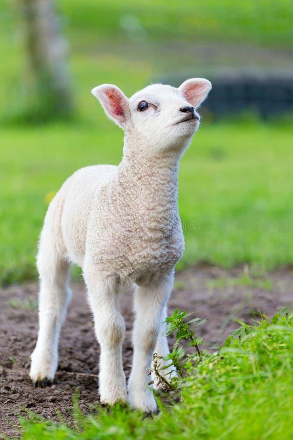 Ett vitt nyfött lammanseende i grönt gräs arkivfoto