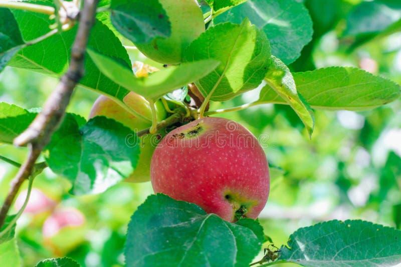 Ett wormy äpple med tydligt tecken av organskadan som växer på en filial royaltyfri foto