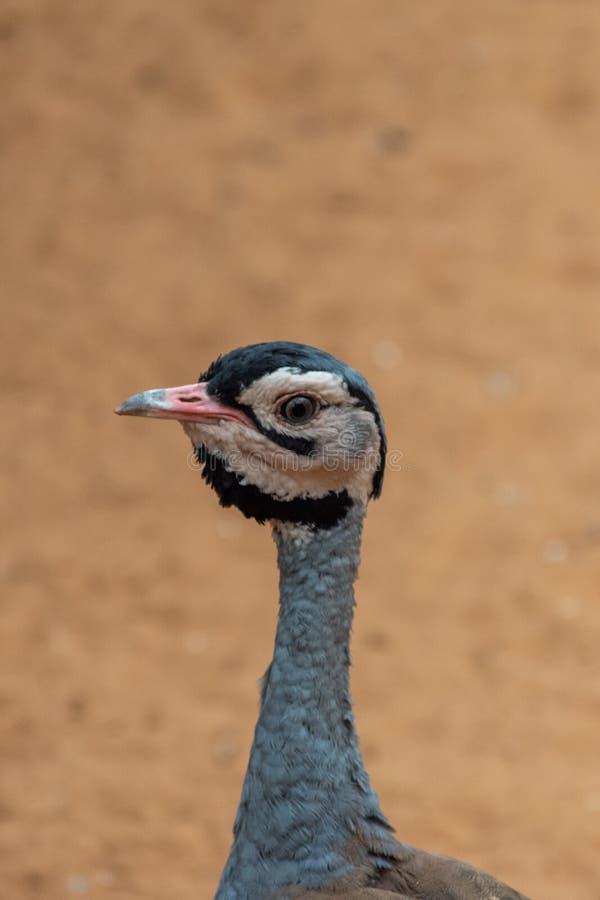 Ettkrönat huvud för närbild f för trappLophotis gindiana som ser näbb, hals i ökensanden royaltyfri fotografi