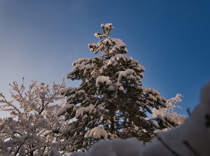 Etttäckt träd i morgonen i solsken royaltyfri bild