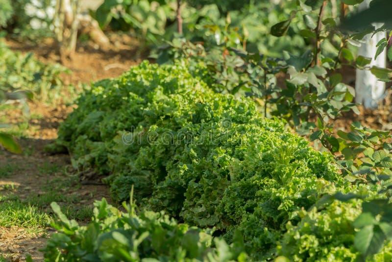 Ettuce, de snijbiet, de spinazie, de witte waterkerssalade en zeer waardevol planten hem eten en koken heel wat verschillende sal stock afbeelding