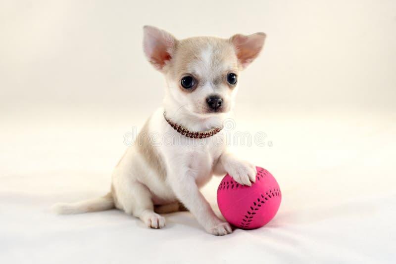 Eu amo o tênis! - Cachorrinho bonito da chihuahua com bola fotos de stock royalty free