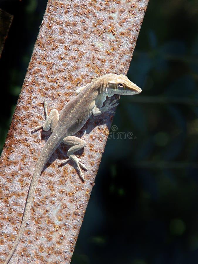 Eu Não Sou Um Gecko Imagens de Stock