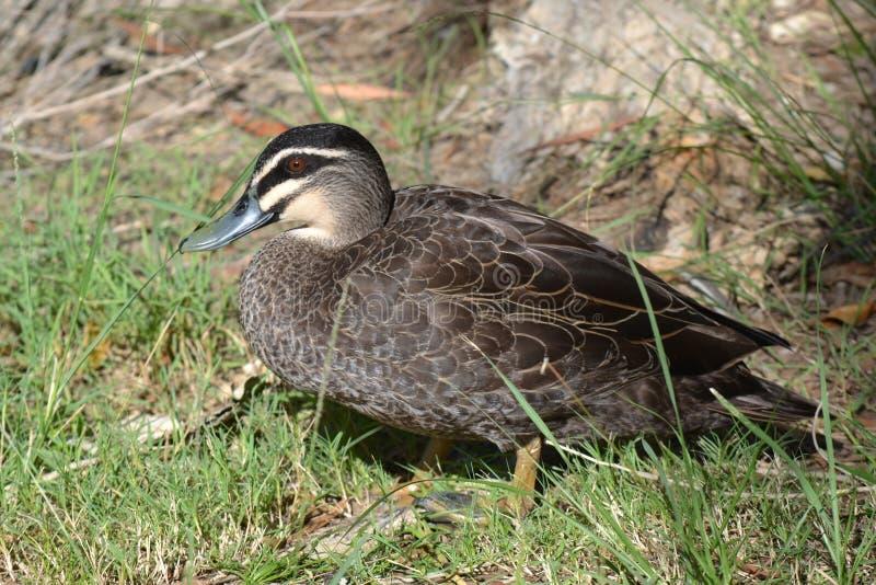 Eu ver o Duck! imagem de stock royalty free