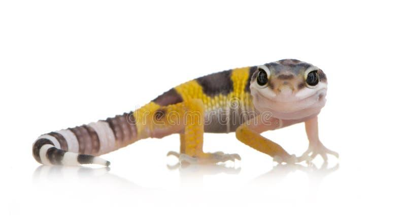 eublepharis壁虎少年豹子macularius 免版税库存图片