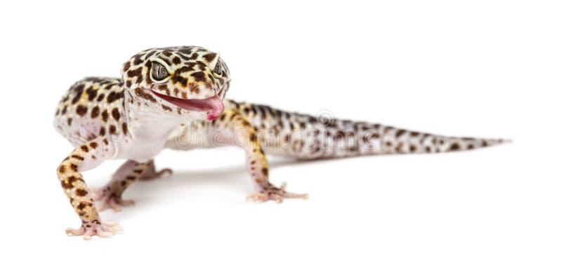 eublepharis壁虎豹子热带蜥蜴的macularius 免版税库存照片
