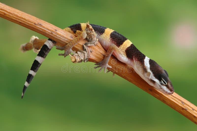 eublepharis壁虎macularius 库存照片