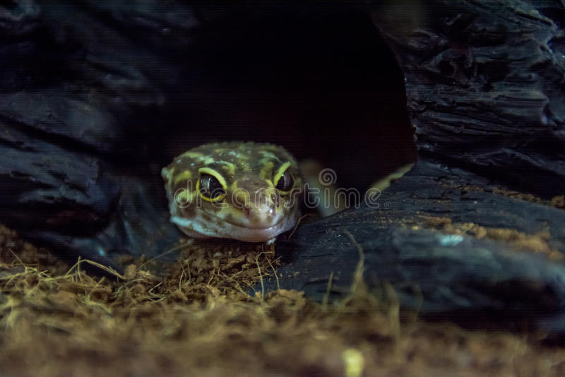 Eublepharis запятнало стоковая фотография rf