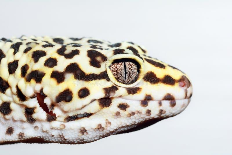 Eublepharis Конец-вверх милого macularius eublepharis гекконовых леопарда стоковое фото rf