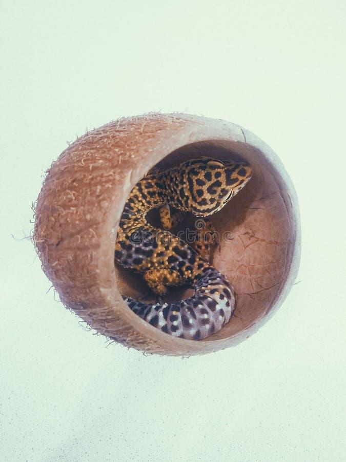 Eublepharis de gecko de lézard en noix de coco photo libre de droits