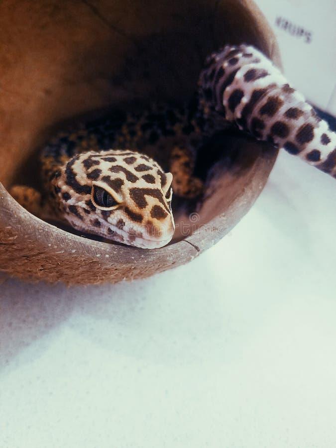 Eublepharis de gecko de lézard en noix de coco images libres de droits