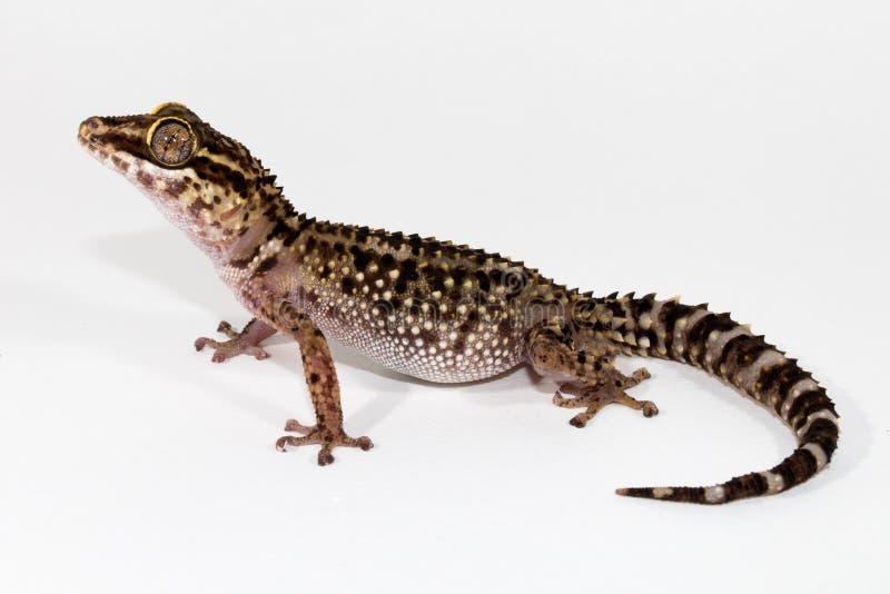 Eublepharis-Gecko stockfoto