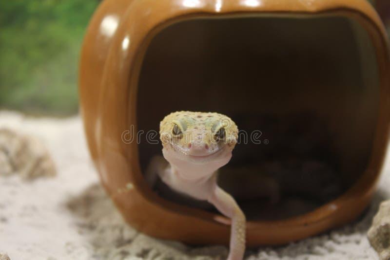 Eublepharis macularius. Leopard Gecko stock photos