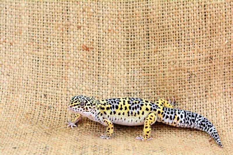 Eublepharis mot säckvävbakgrund Närbild av den gulliga maculariusen för leopardgeckoeublepharis royaltyfria foton