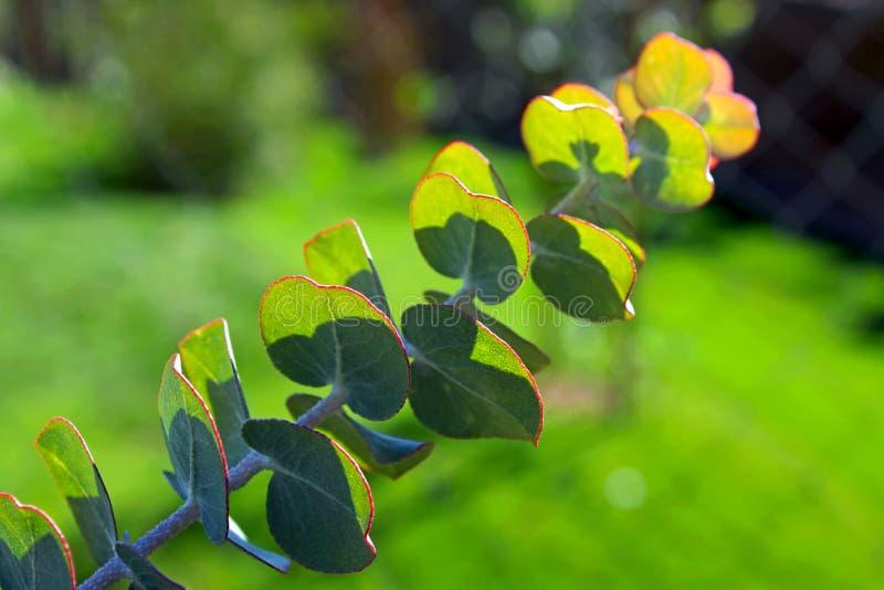Eucalipto cinerea, árbol del dólar de plata fotografía de archivo libre de regalías