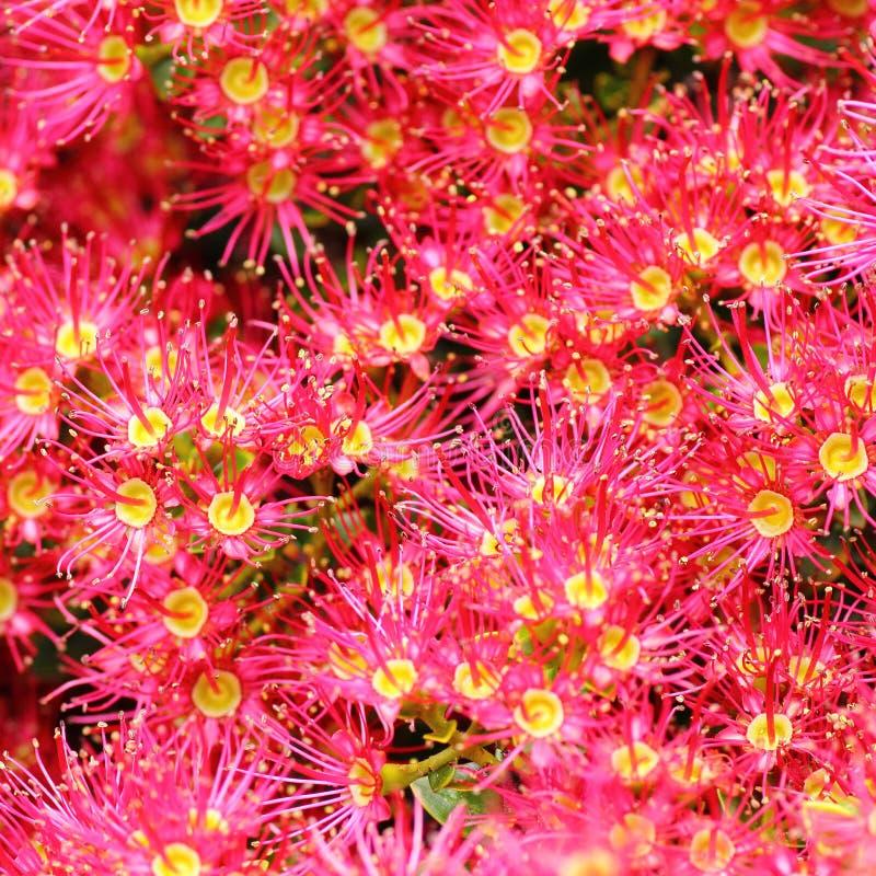 Eucalipto de florescência cor-de-rosa foto de stock royalty free