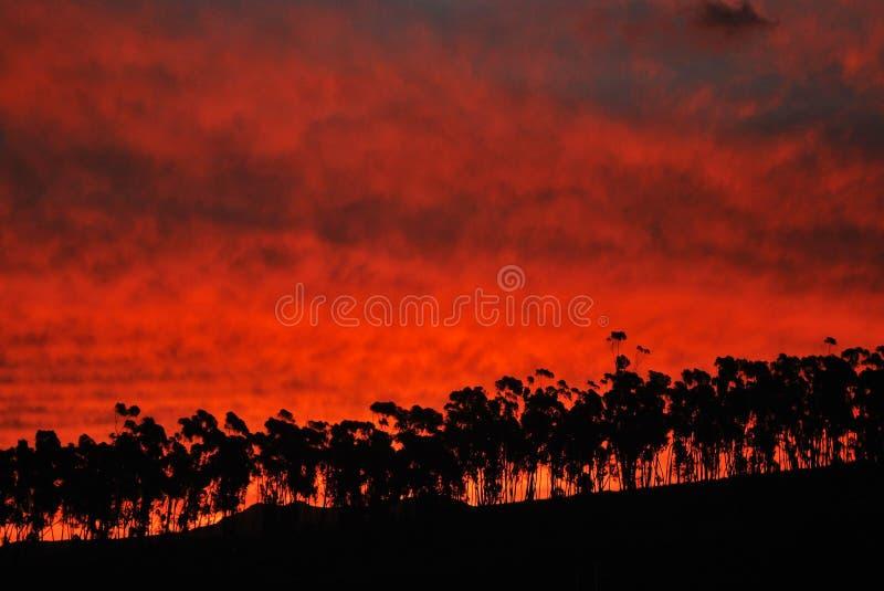 Eucalipto en la puesta del sol fotografía de archivo