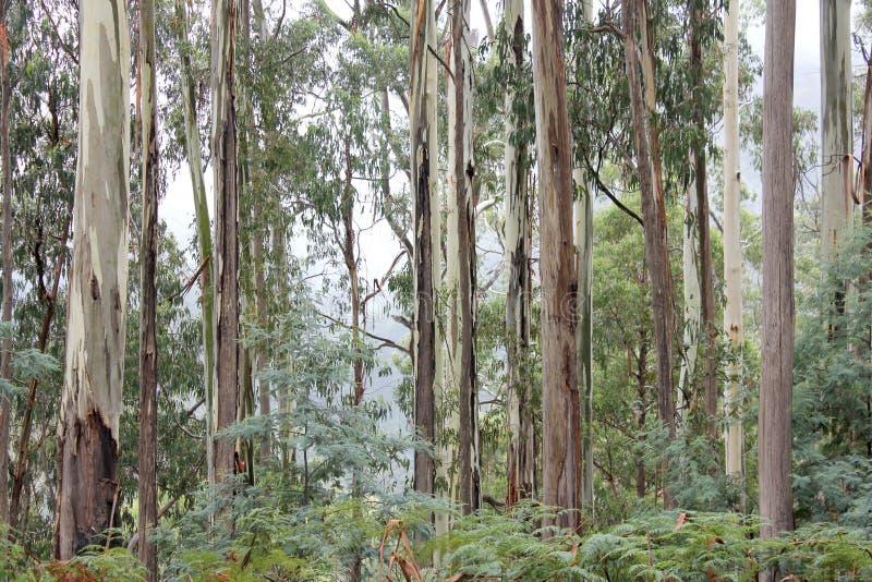 Eucalipto Forest High Country Victoria 2 fotos de stock