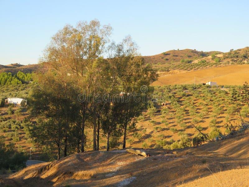 Eucalipto y Olive Grove imagen de archivo libre de regalías
