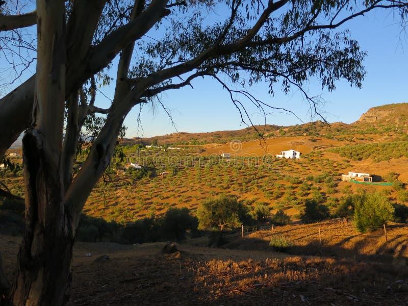 Eucalipto y Olive Grove foto de archivo