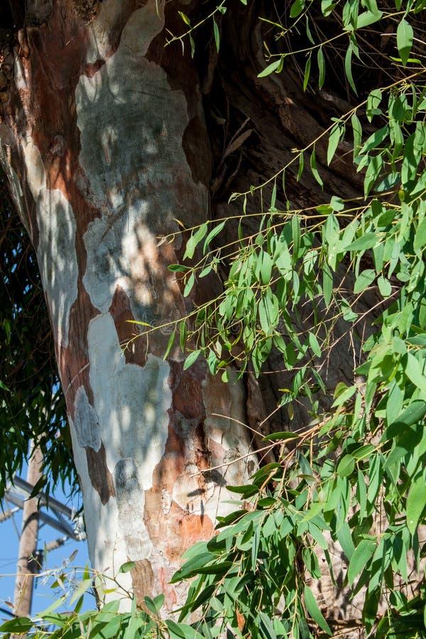 Eucaliptus royaltyfri bild