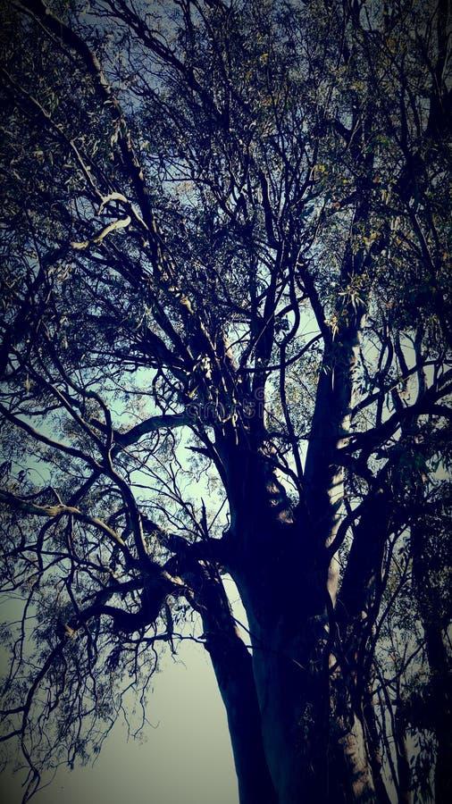 Eucaliptus träd arkivfoton