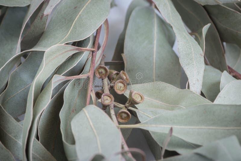 Eucalypten fattar arkivfoton