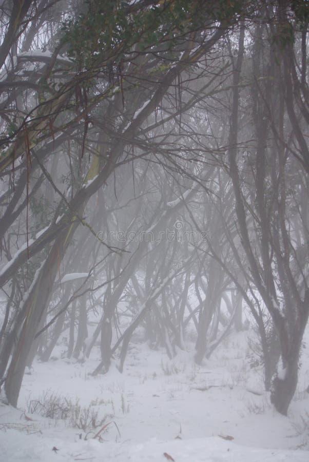 Eucalypts australiani dello Snowy sotto nebbia immagine stock libera da diritti
