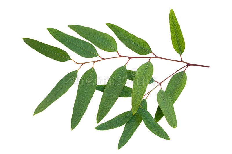 Eucalyptus royalty-vrije stock foto