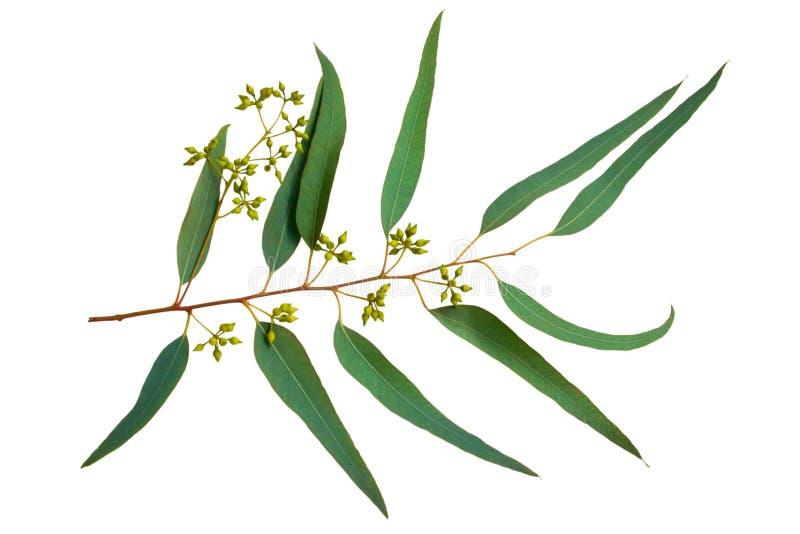 Eucalyptus stock foto's