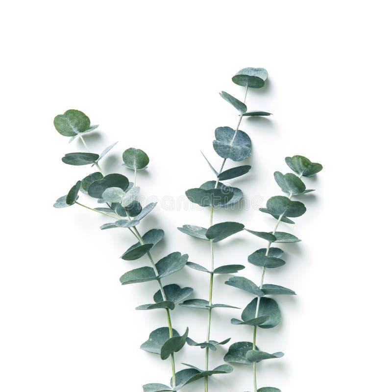 eucalyptus stock foto