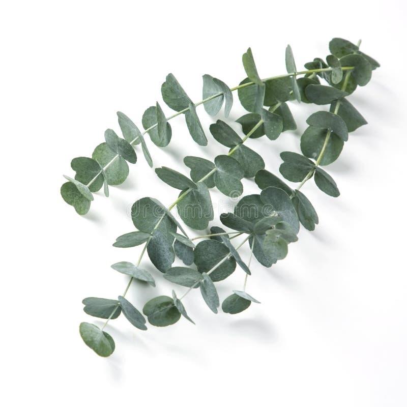 eucalyptus royalty-vrije stock afbeelding