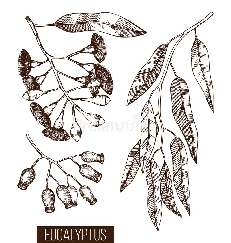 Vintage collection of Hand drawn Eucalyptus sketches. Cosmetics and medical myrtle plant. Vector Tasmanian blue gum botanical draw. Ings with berries, flowers royalty free illustration