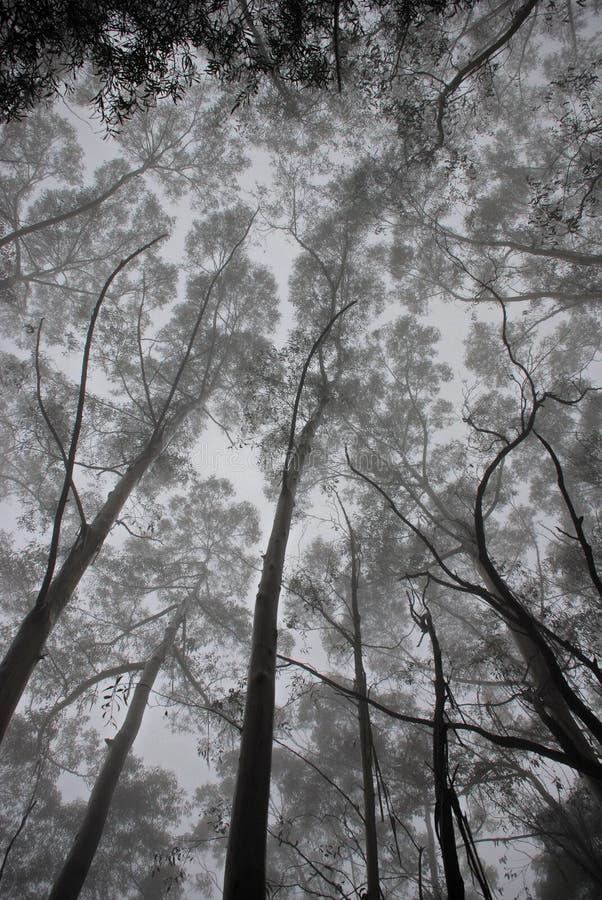 Eucalyptus royalty-vrije stock foto's