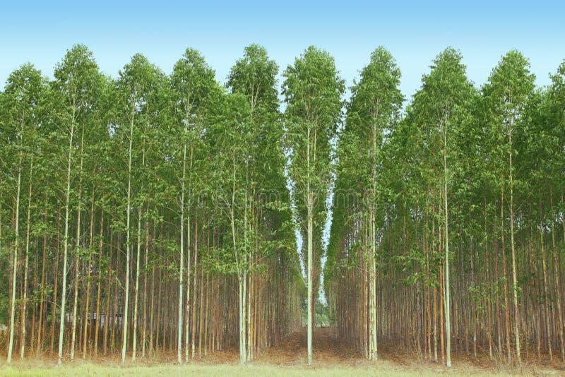 Download Eucalyptus stock photo. Image of eucaliptus, environment - 19313392