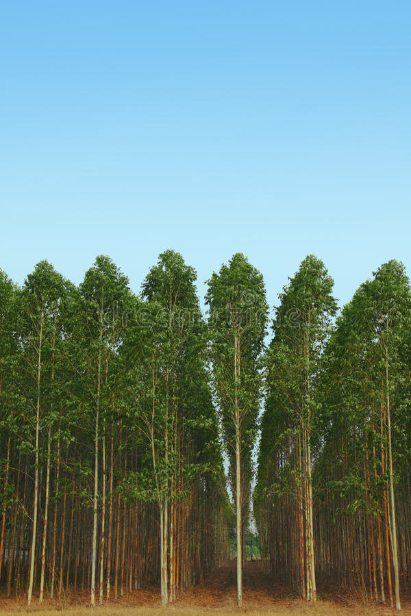 Eucalyptus stock fotografie