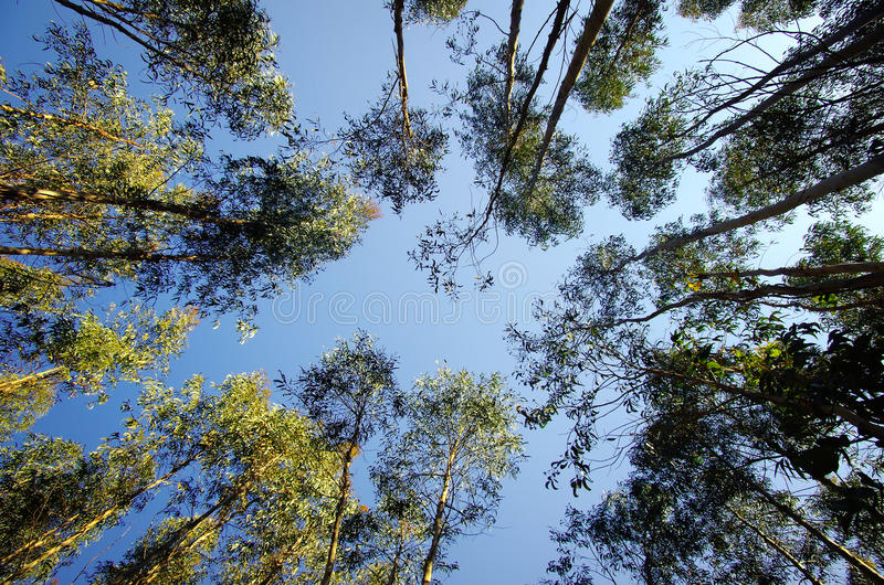 Eucalyptus royalty-vrije stock afbeeldingen