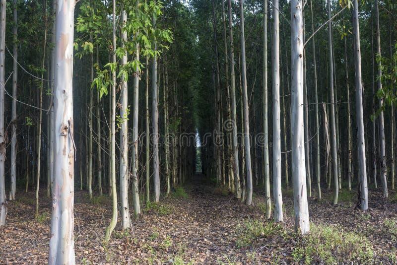 Eucalyptus immagini stock libere da diritti