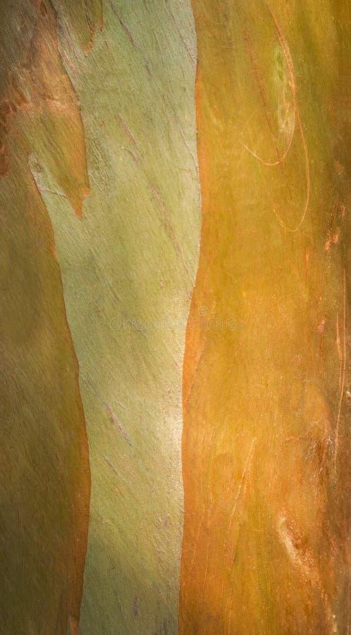 Eucalyptus fotografia stock