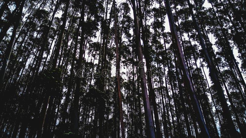 eucalyptus immagine stock