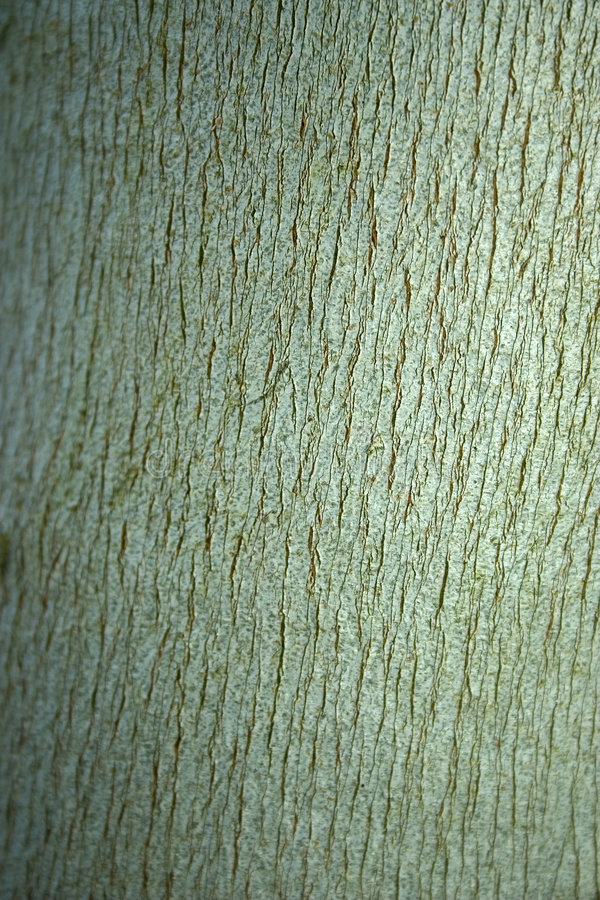 Eucalyptus bark. Background of eucalyptus bark stock images