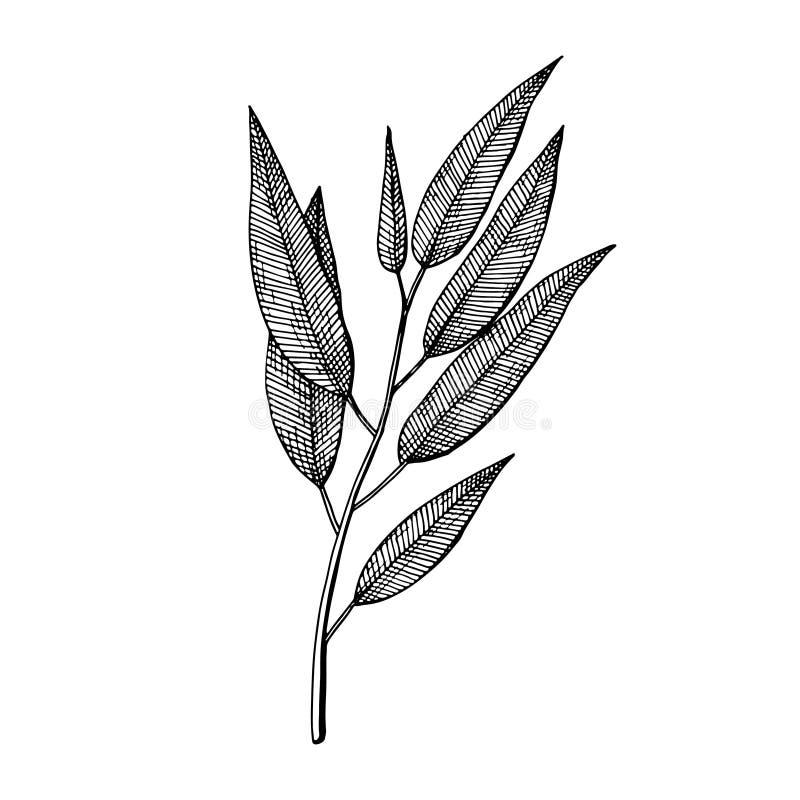 Gum Tree Leaves Sketch Stock Illustrations 54 Gum Tree Leaves Sketch Stock Illustrations Vectors Clipart Dreamstime