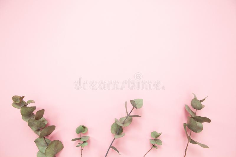 Eucalyptus branches on millennial pink background with copy space. Bottom eucalyptus. Minimalism flat lay. For lifestyle blog. Eucalyptus branches on millennial royalty free stock photos
