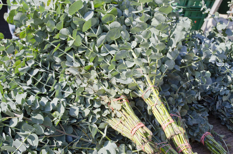 Eucalyptus. Bunches of eucalyptus branches for sale in teh market stock photography