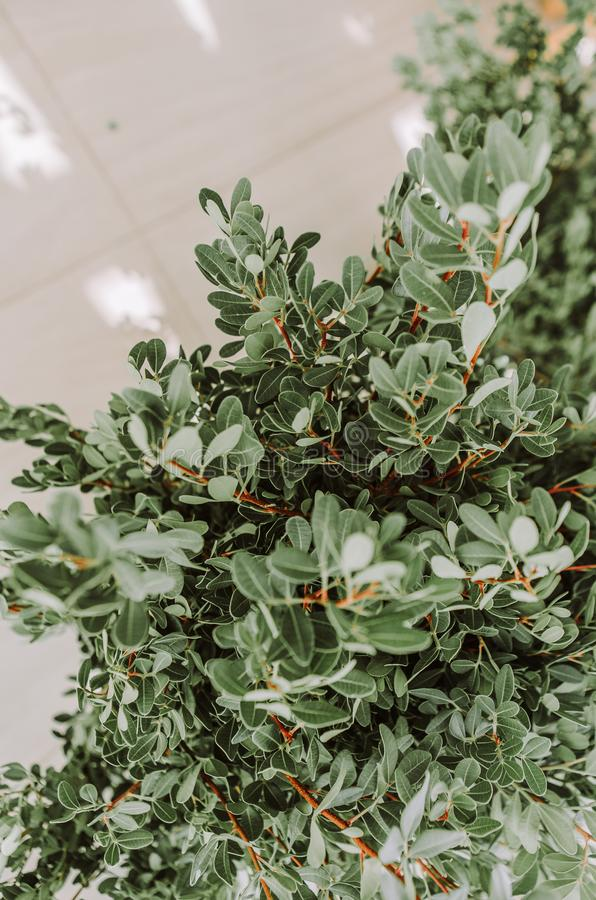 Eucalyptus bush beautiful branches green leaves outside. Eucalyptus bush with beautiful branches and green leaves outside stock photos