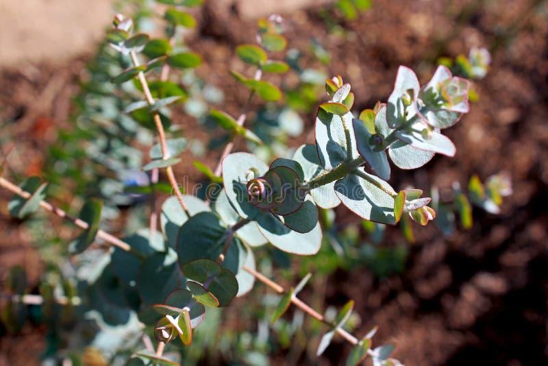 Eucalyptus cinerea, silver dollar tree, Little boy blue stock images