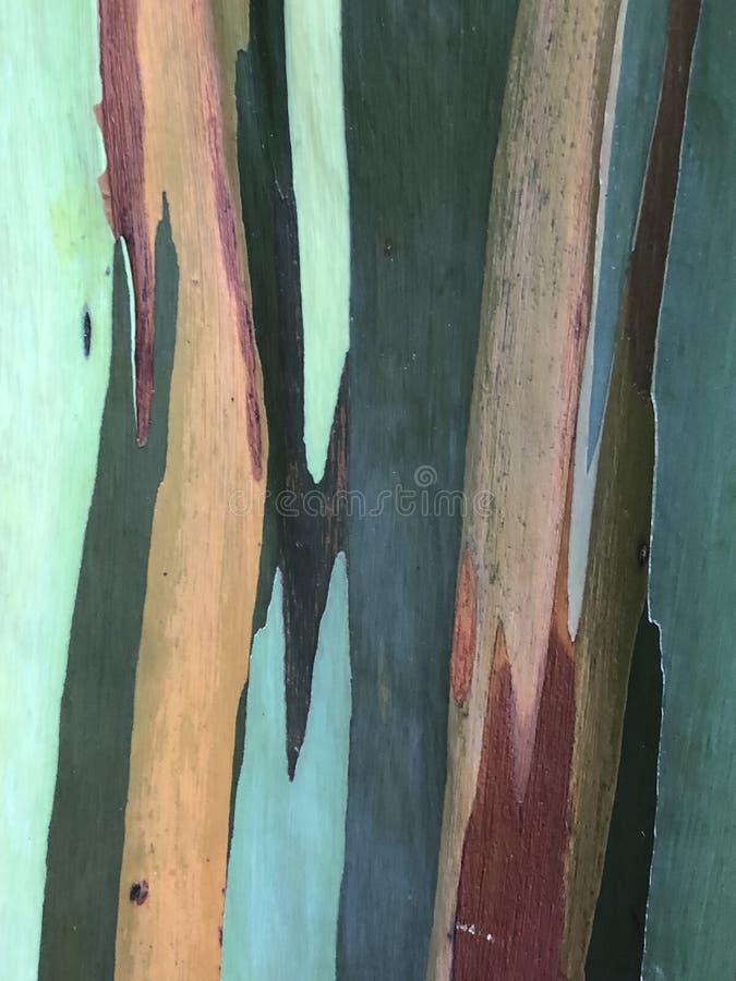 Eucalyptus d'arc-en-ciel photos stock