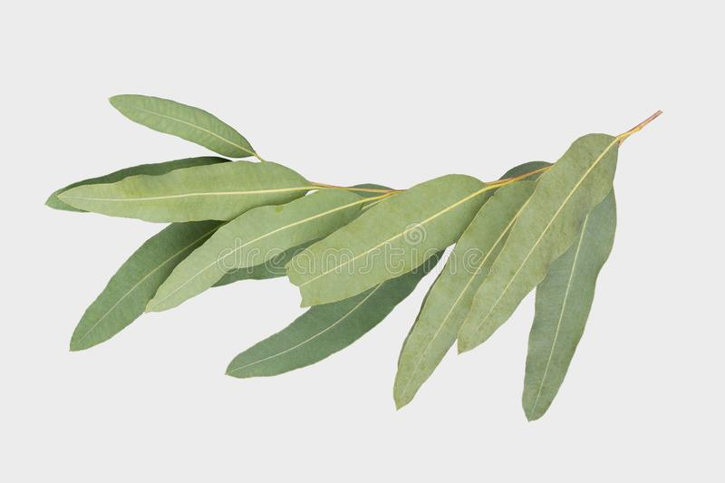 Eucalyptus d'isolement sur le fond gris avec le chemin de coupure image stock