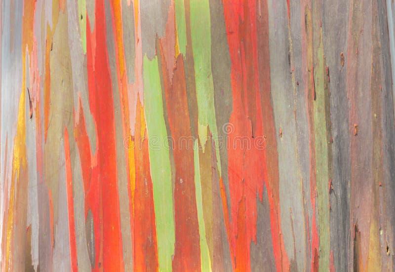 Eucalyptus dell'arcobaleno immagine stock