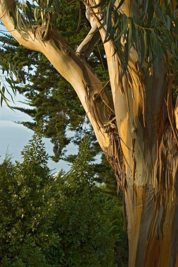 Eucalyptus di San Francisco fotografia stock libera da diritti